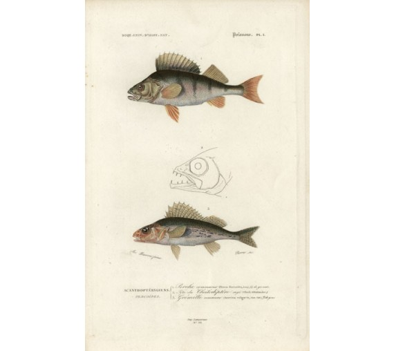 Orbigny fish engraving Pierre Acarie Baron