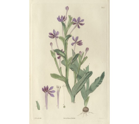 lapeyrousia mauve purple sweet botanical print antique engraving