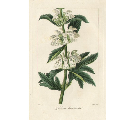 phlomis laciniata desert spike botanical print antique engraving bessa