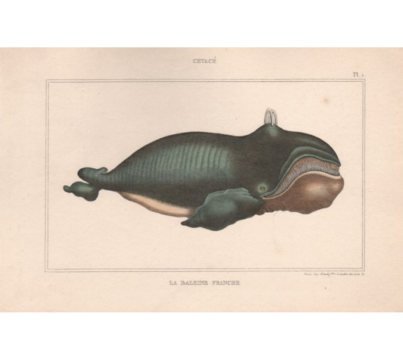 Right Whale French antique engraving