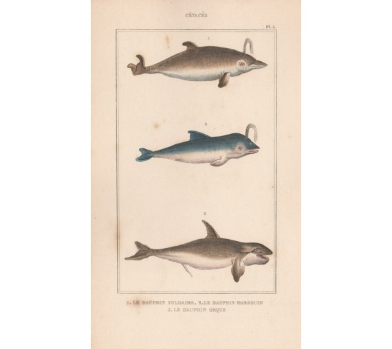 Dolphins French antique engraving