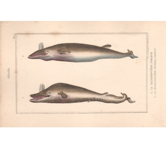 Balaenoptera whale French antique engraving