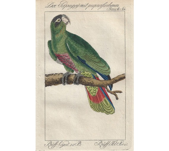 Ashcrowned Parrot Martinique Buffon bird engraving