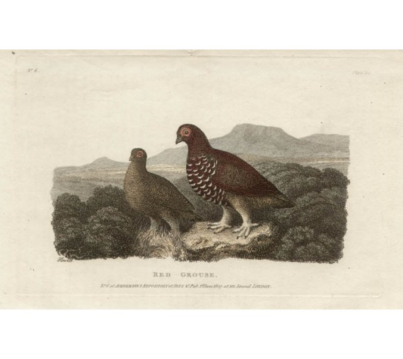 Red Grouse Etching Samuel Howitt antique shooting engraving