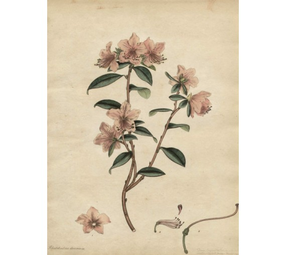rhododendron dauricum botanical print antique engraving andrews