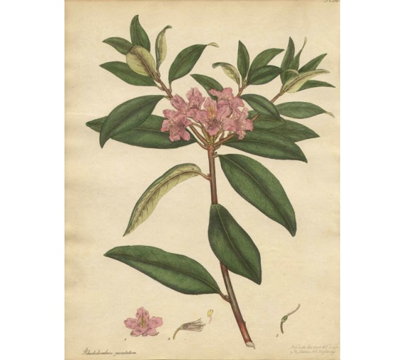 rhododendron botanical print antique engraving old andrews