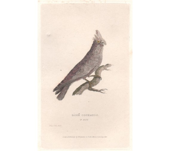 Rose Cockatoo engraving galah 1829