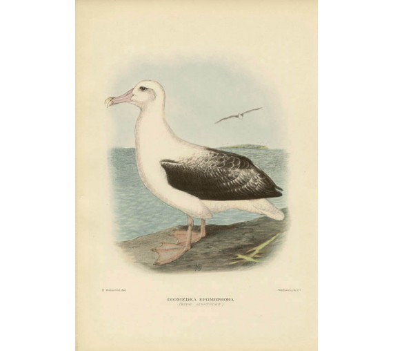 Mathews Birds Australia Royal Albatross Lithograph Gronvold