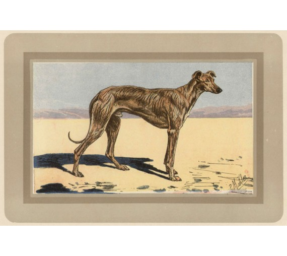 Arab Greyhound Saluki Chromolithograph print gun dog breed