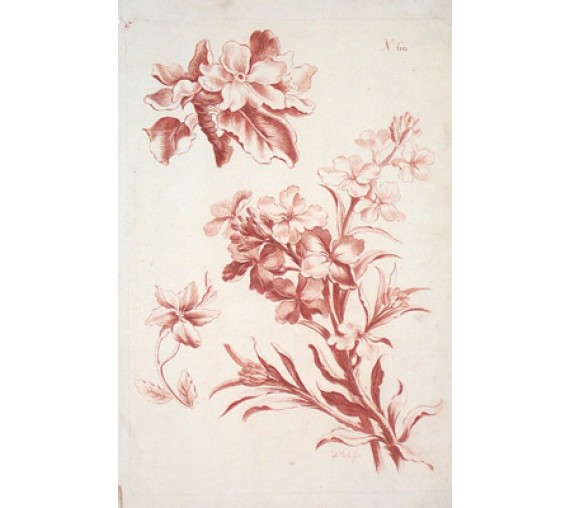 sanguine flowers gabriel smith botanical print antique engraving