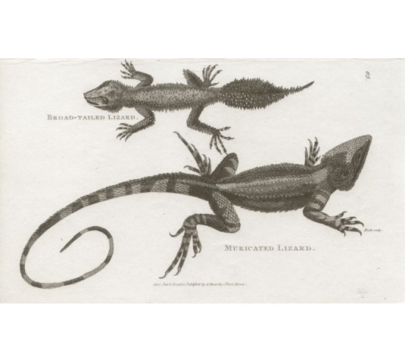 Broad Tailed Lizaed Muricated Lizard engraving Heath 1802