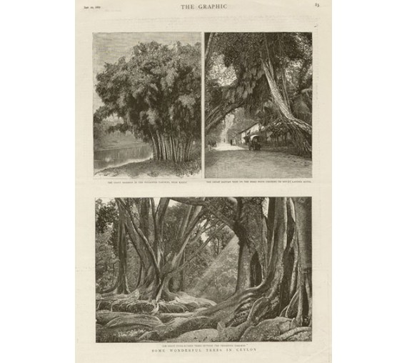 Trees Ceylon antique engraving Sri Lanka
