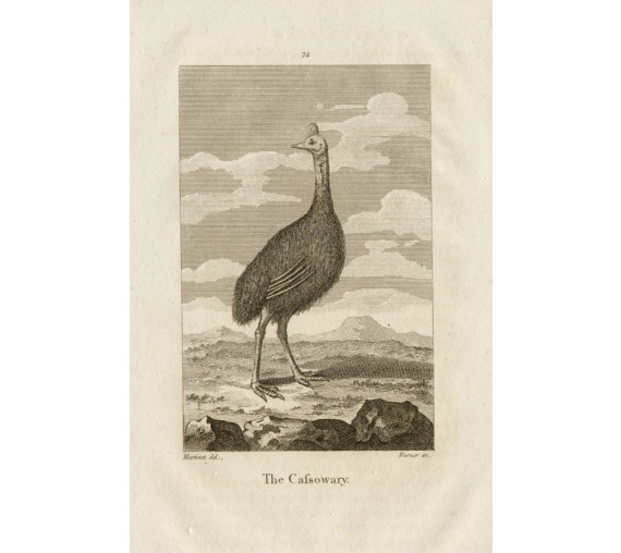 Cassowary engraving Warner Martinet 1816