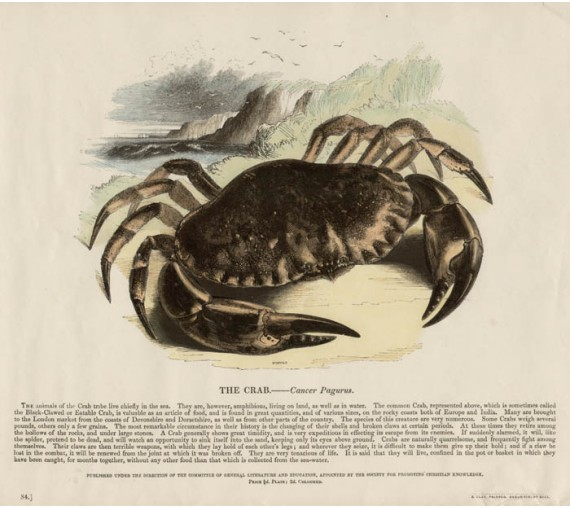 Crab antique Engish engraving Whimper