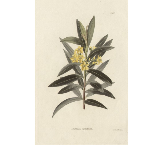 tristania nerifolia yellow loddiges botanical print antique engraving