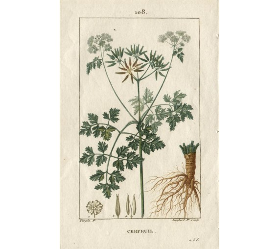 chervil botanical kitchen print antique engraving herb