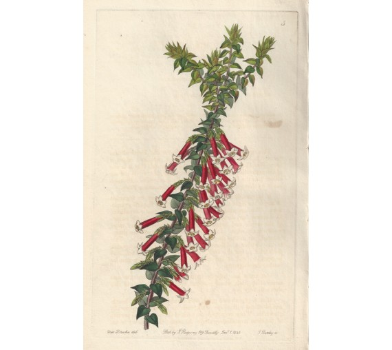 vermillon epacris loddiges botanical register print antique engraving