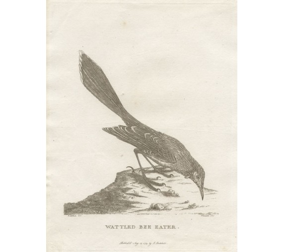 Wattled Bee Eater engraving Sydenham Edwards Latham 1789