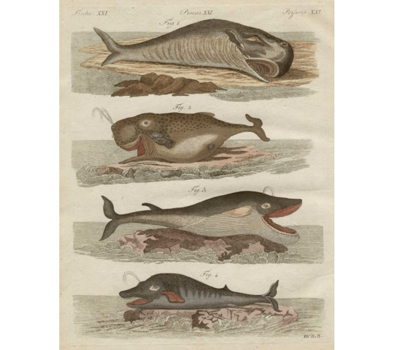 Whales antique engraving Friedrich Justin Bertuch