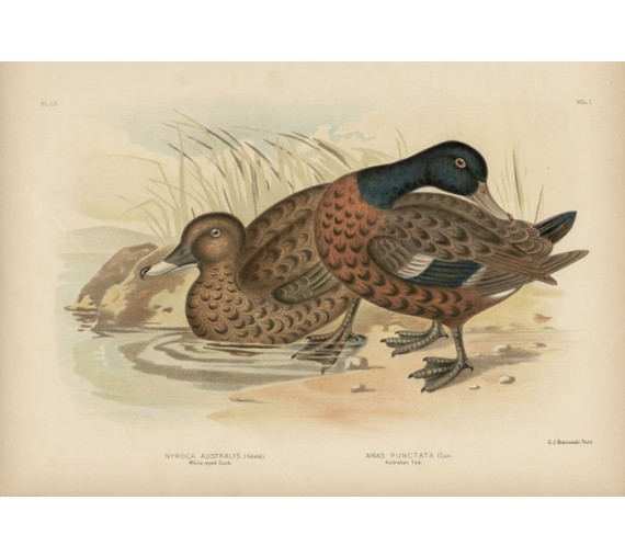 Whiteeyed Duck Australian Teal Broinowski Birds Australia Chromolithograph