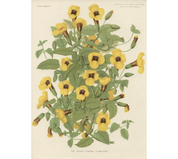 yellow torenia botanical print antique chromolithograph flower