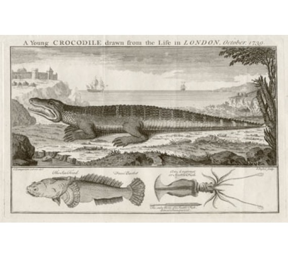 Young Crocodile engraving Basire Lampriere