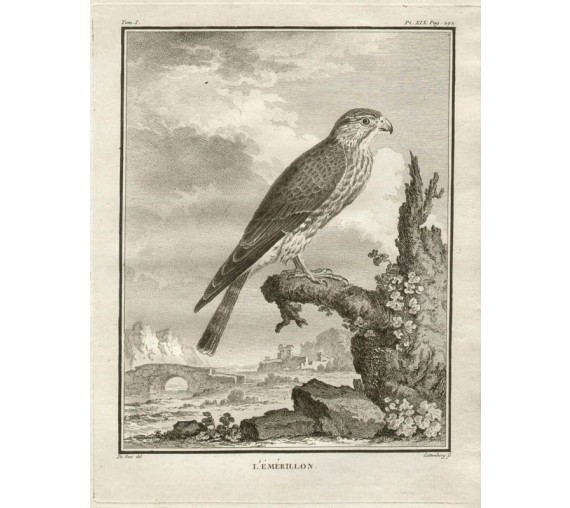 L'Emerillon Merlin French antique bird engraving Seve
