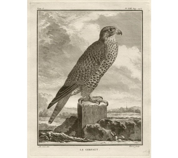 Le Gerfaut Gyrfalcon French antique bird engraving Seve