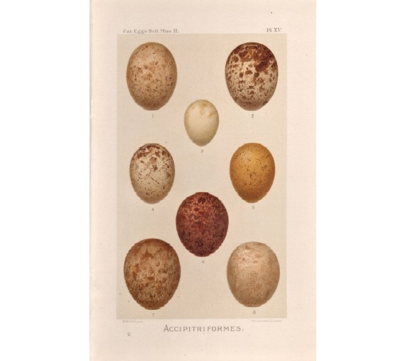bird eggs antique print accipitriformes five