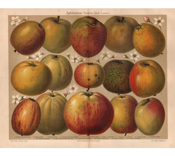 apfelsorten apple varieties fruit print