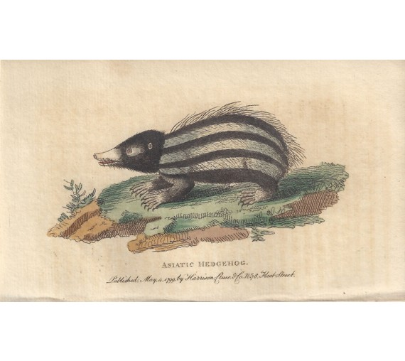 asiatic hedgehog engraving naturalists pocket magazine