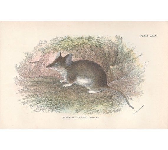 Common Pouched Mouse Lydekker Chromoithograph