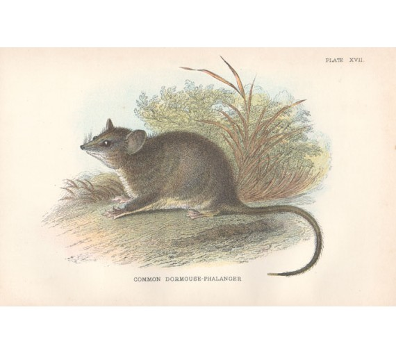 Common Dormouse Phalanger Lydekker Chromoithograph
