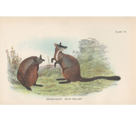 Brush Tailed Rock Wallaby Lydekker Chromoithograph