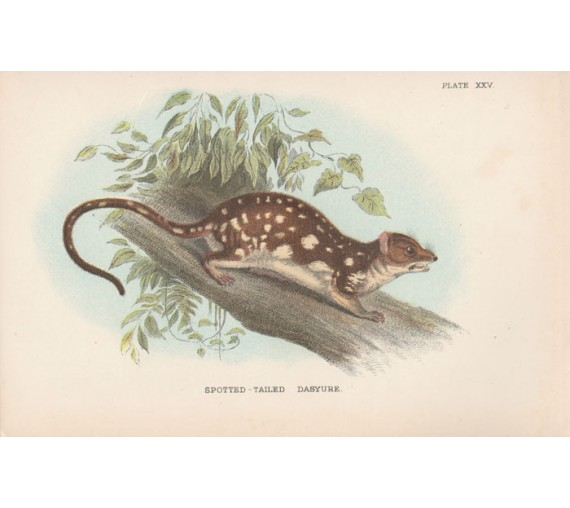 Spotted-Tailed Dasyure Quoll Lydekker Chromoithograph