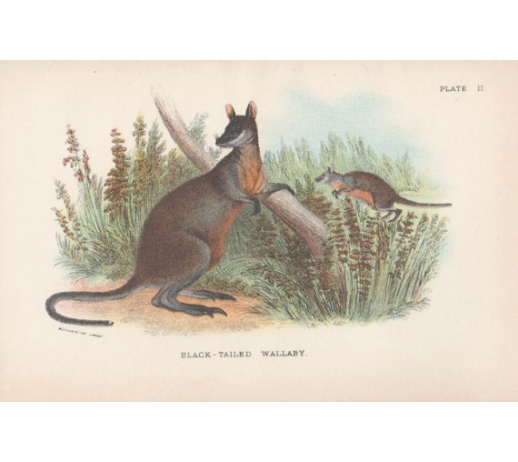 Black Tailed Wallaby Lydekker Chromoithograph