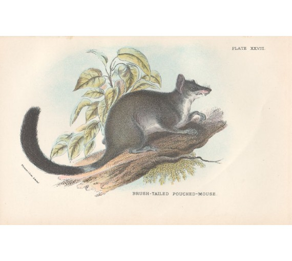 Brush tailed pouched mouse Lydekker Chromoithograph