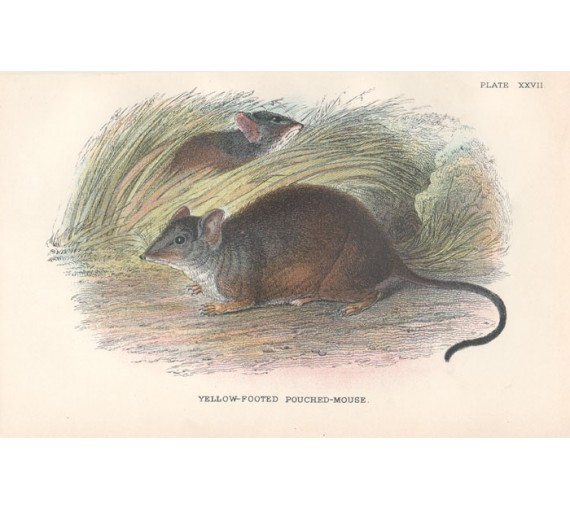 Yellow Footed Pouched Mouse Lydekker Chromoithograph
