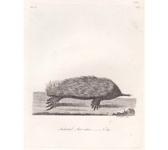 aculeated ant eater echidna mazell