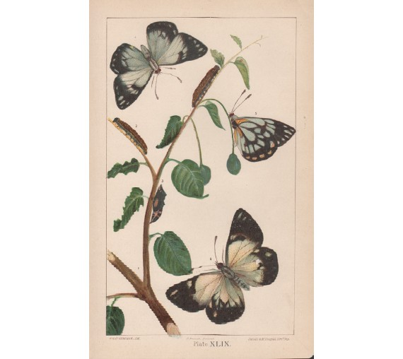 caper butterfly destructive insects victoria