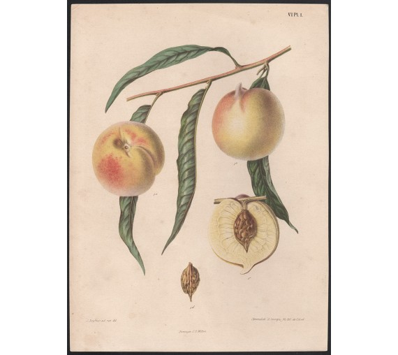 nectarine fruit botanical print antique chromolithograph