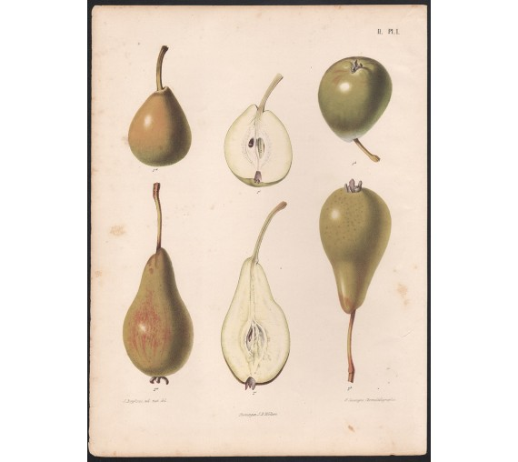 pears fruit botanical print antique chromolithograph