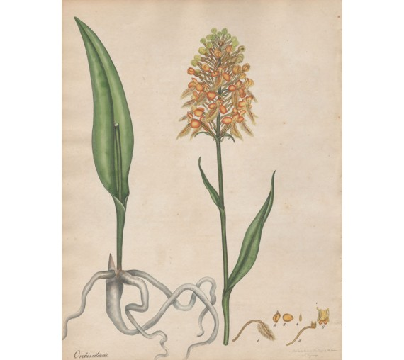 Orchis ciliaris botanical print antique engraving andrews