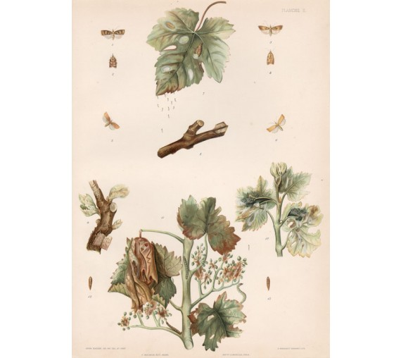 vine wine antique botanical print chromolithograph borer