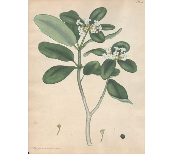 pittosporum coriaceum botanical print antique engraving andrews