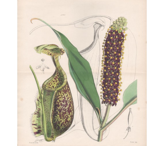 Nepenthes Rafflesiana botanical lithograph