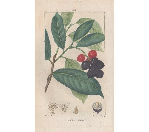 cherry laurel antique print