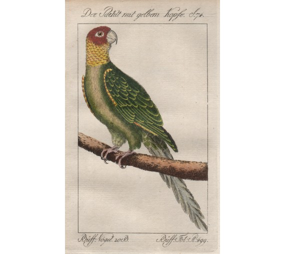 Parrot of Carolina Buffon bird engraving