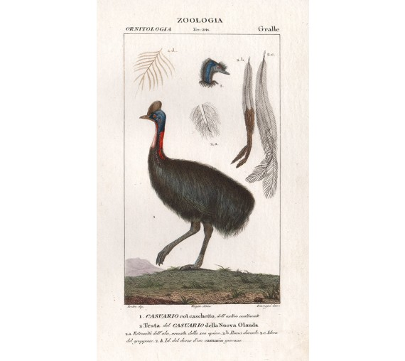 cassowary pretre antique engraving