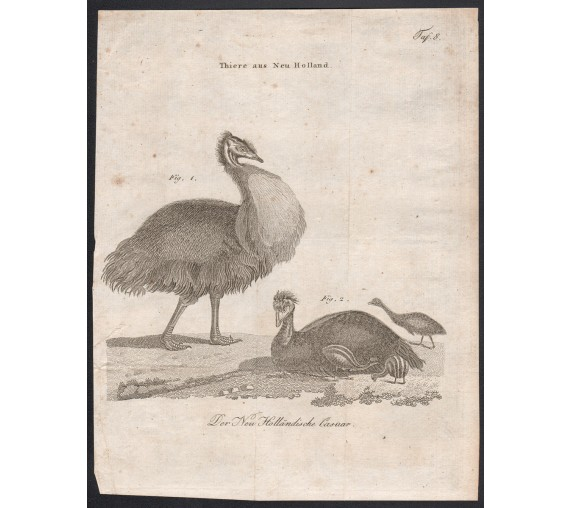 Der New Hollandische Casuar Emu engraving